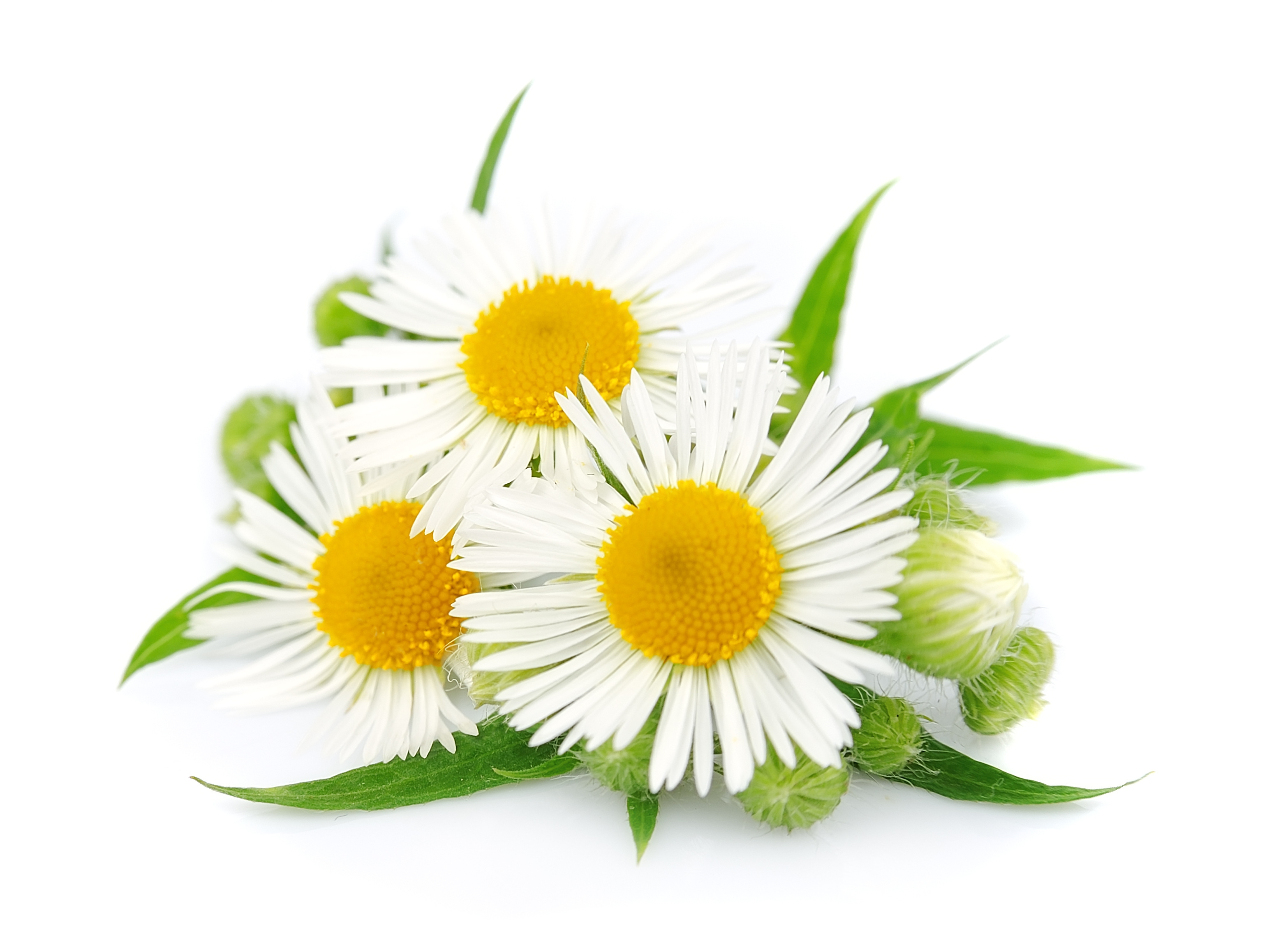 Anthemis Nobilis Flower Extract
