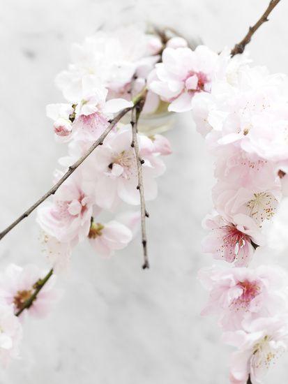 Sakura - Câu chuyện về Hoa Anh Đào 5 cánh
