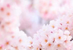 Prunus mume fruit extract : Thần dược làm đẹp của phụ nữ Nhật