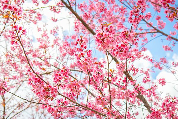 Hoa anh đào – Mùa xuân trên xứ Phù Tang
