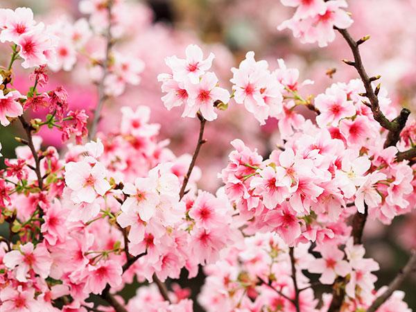 Câu chuyện về loài hoa mang nét quyến rũ mê hồn ẩn sau vẻ ngoài thuần khiết