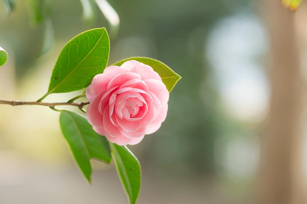 Tìm hiểu về công dụng làm đẹp tuyệt vời của dầu hoa trà Nhật Bản