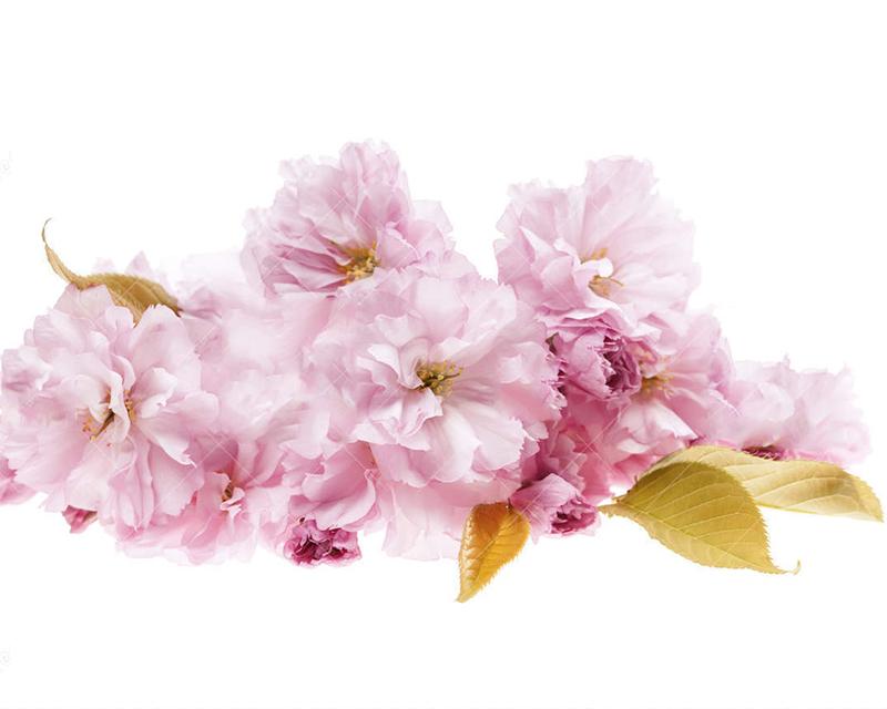 chiết xuất hoa anh đào nuôi dưỡng da từ sâu bên trong