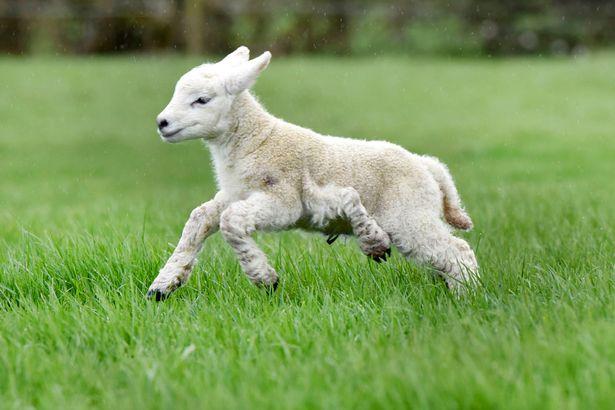 Nhau thai cừu có nhiều dưỡng chất tốt cho sức khỏe và sắc đẹp