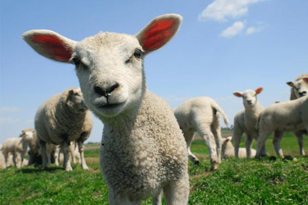 nhau thai cừu phục hồi làn da
