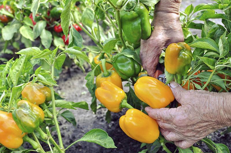 ớt vàng ngọt cung cấp nhiều vitamin c cho cơ thể