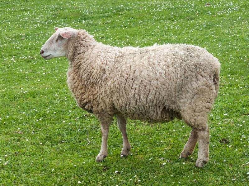 serum nhau thai cừu là gì