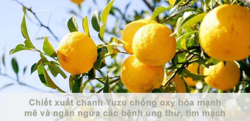 chiết xuất chanh Yuzu chống oxy hóa mạnh mẽ