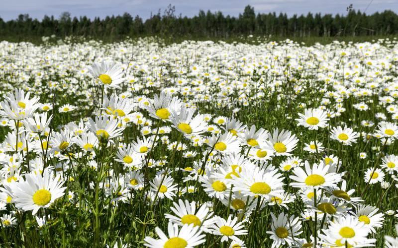 chiết xuất Cúc La Mã thần dược làm đẹp có nguồn gốc từ Châu Âu