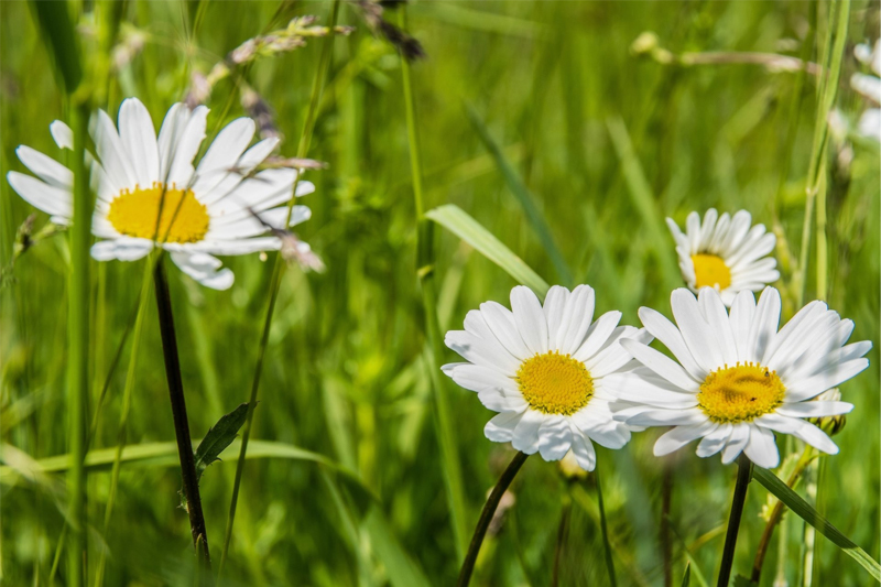 Sữa rửa mặt Sakura Gentle Cleanser chứa tinh chất hoa dịu nhẹ