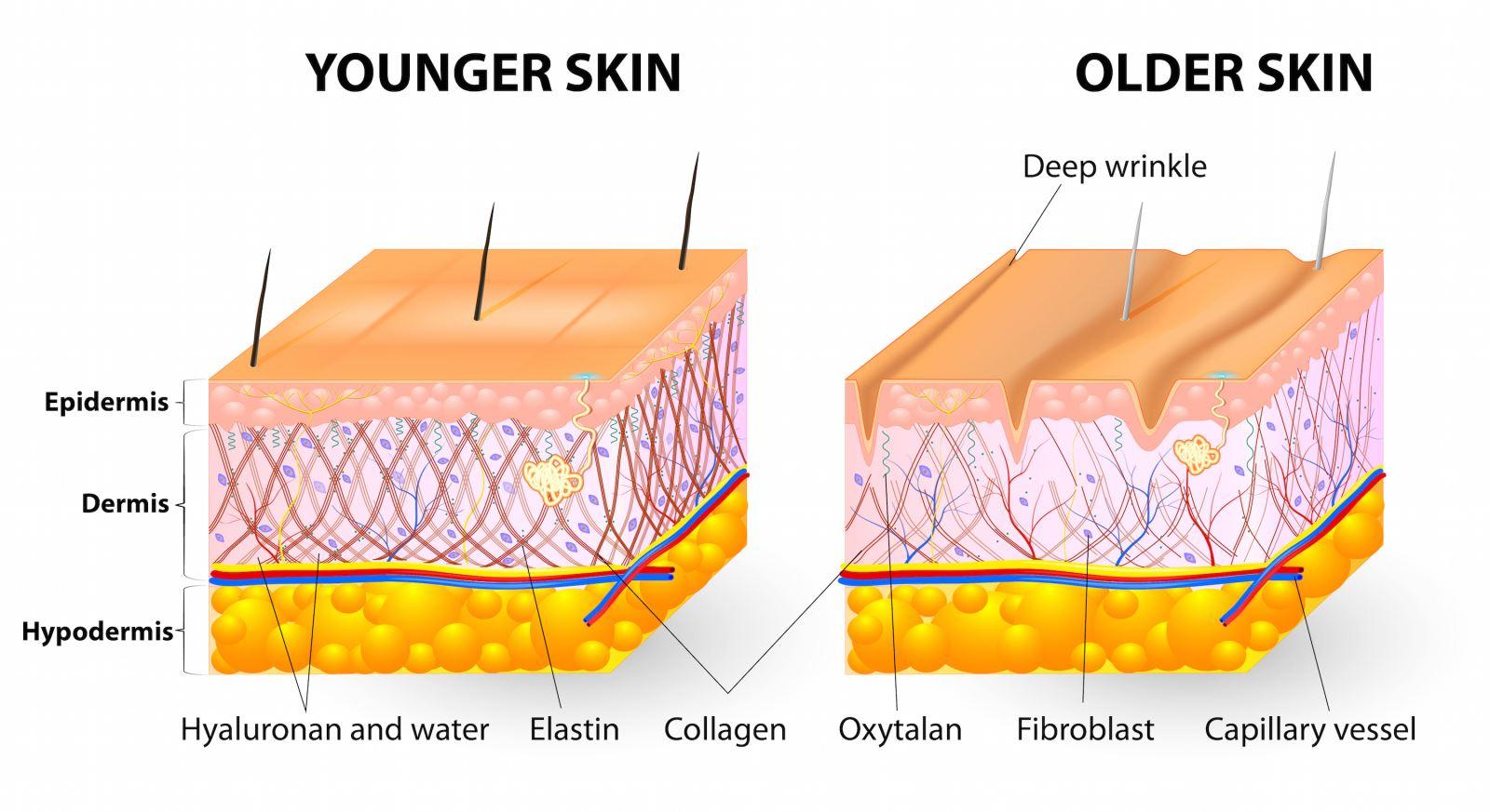 cong-dung-cua-collagen-hinh1