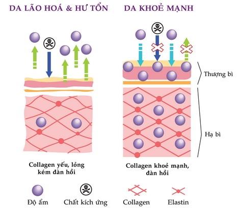 cau-truc-collagen-thuy-phan